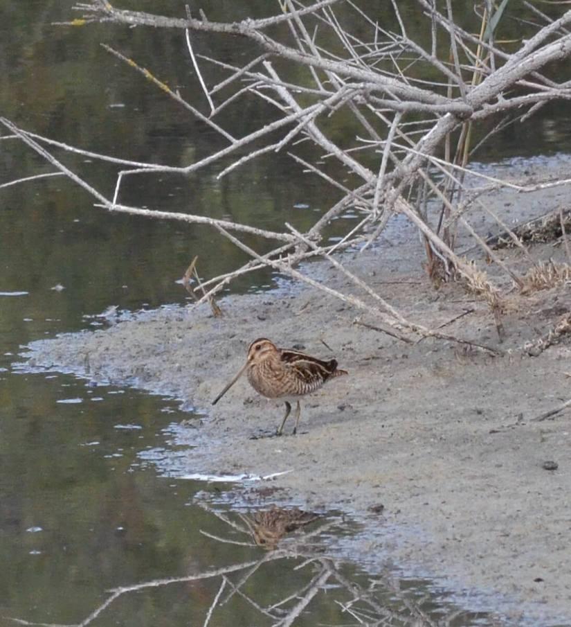 a common snipe, parco regionale veneto del delta del po, po river delta, italy