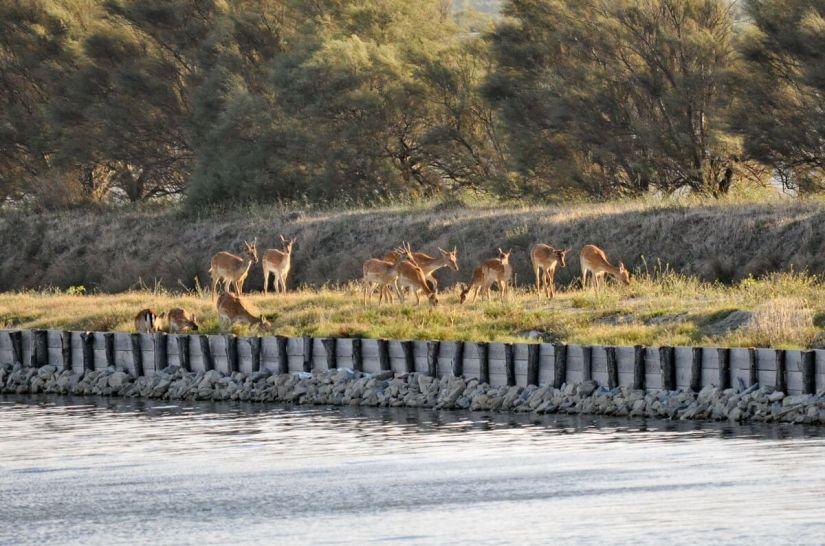 red deer, parco regionale veneto del delta del po, po river delta, italy