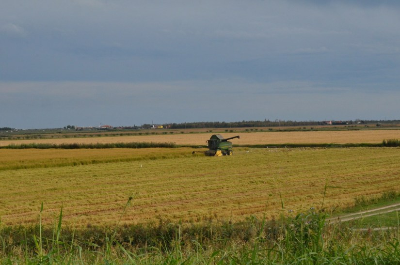 the rice harvest, parco regionale veneto del delta del po, po river delta, italy