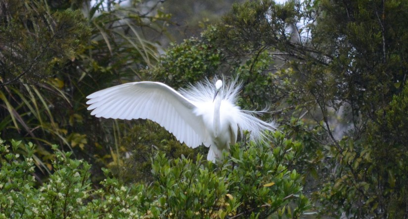 a white heron, white heron sanctuary. south island, new zealand