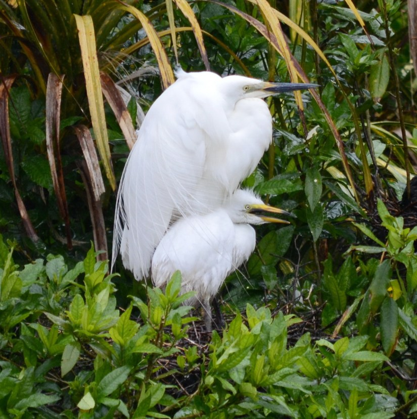 a white heron and chick, white heron sanctuary. south island, new zealand