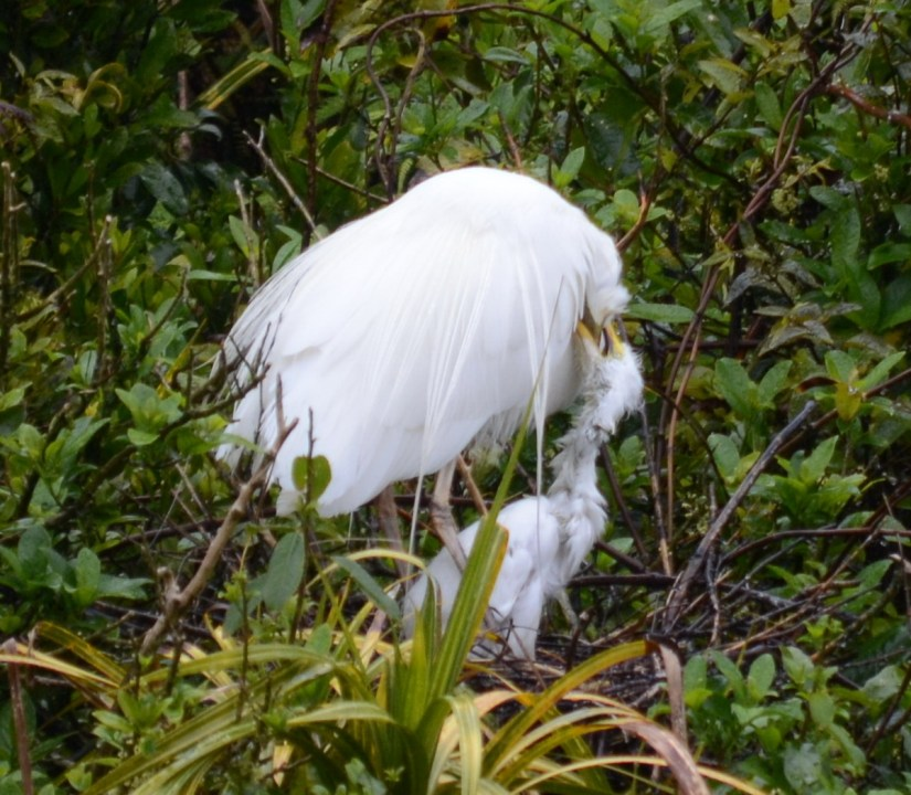 a white heron feeding chick in nest, white heron sanctuary, south island, new zealand