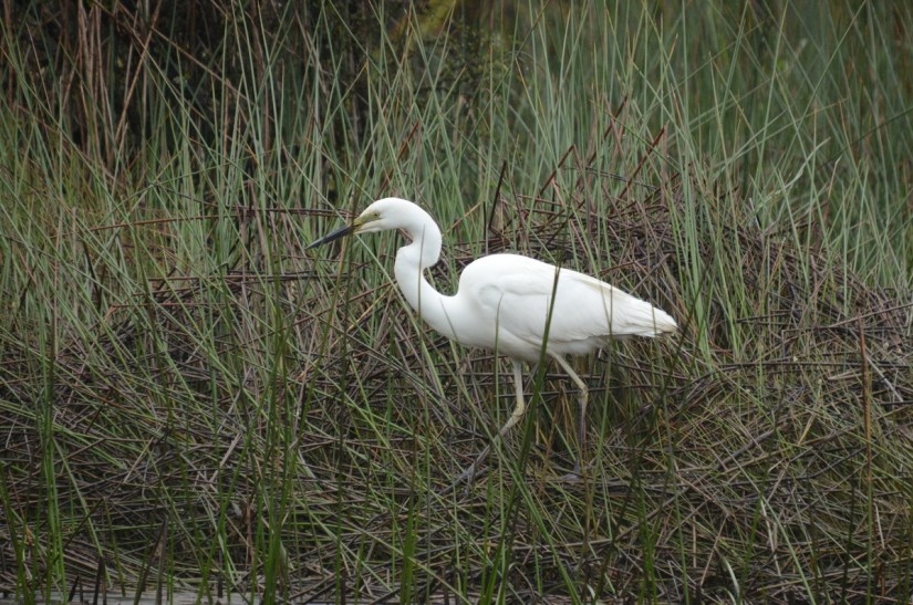 a white heron, waitangiroto nature reserve, south island, new zealand