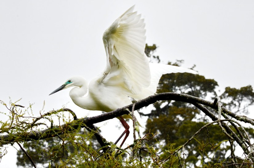 a white heron, white heron sanctuary, south island, new zealand