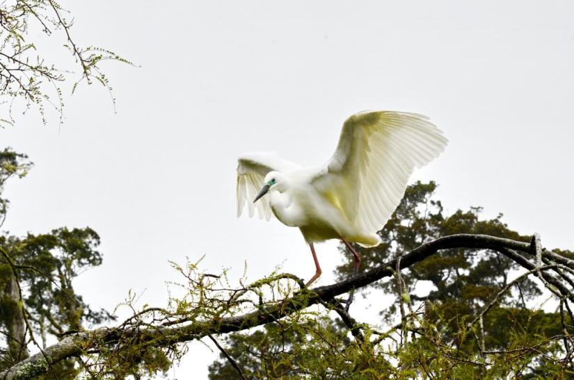 a white heron, waitangiroto nature reserve, south island, new zealand