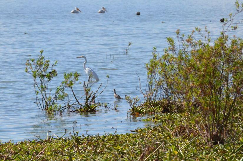 a great egret, lake chapala, mexico