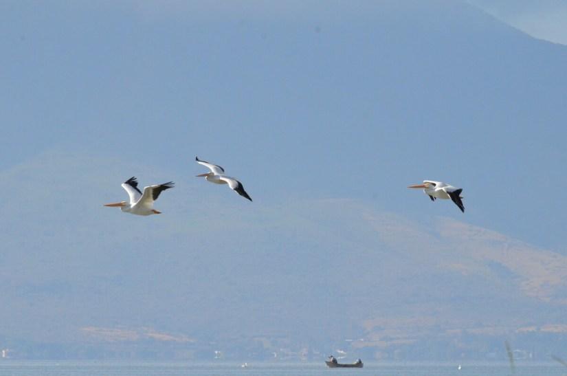 american white pelicans, lake chapala, mexico