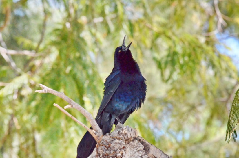 a great-tailed grackle, lake chapala, mexico