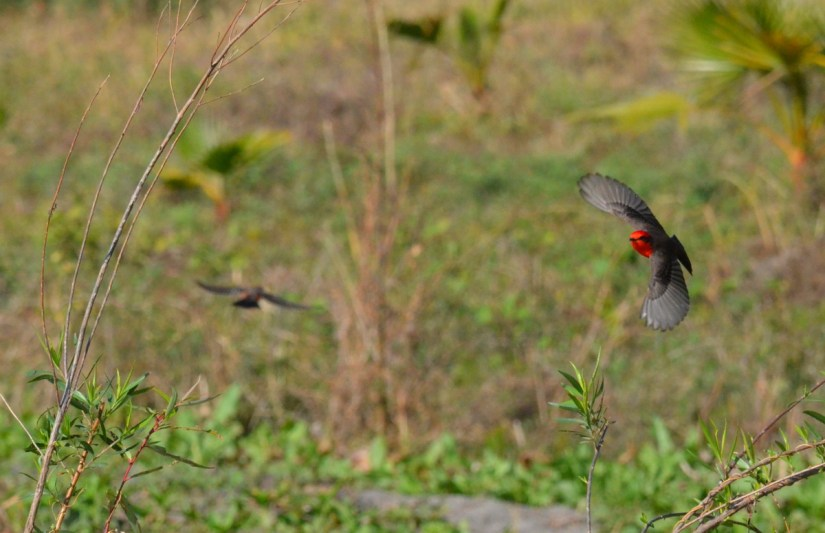 vermilion flycatchers, lake chapala, mexico