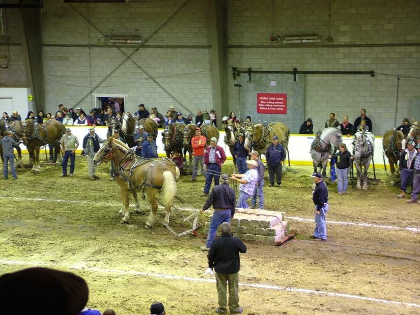 heavy horse pull, markham fair, markham, ontario, 2010