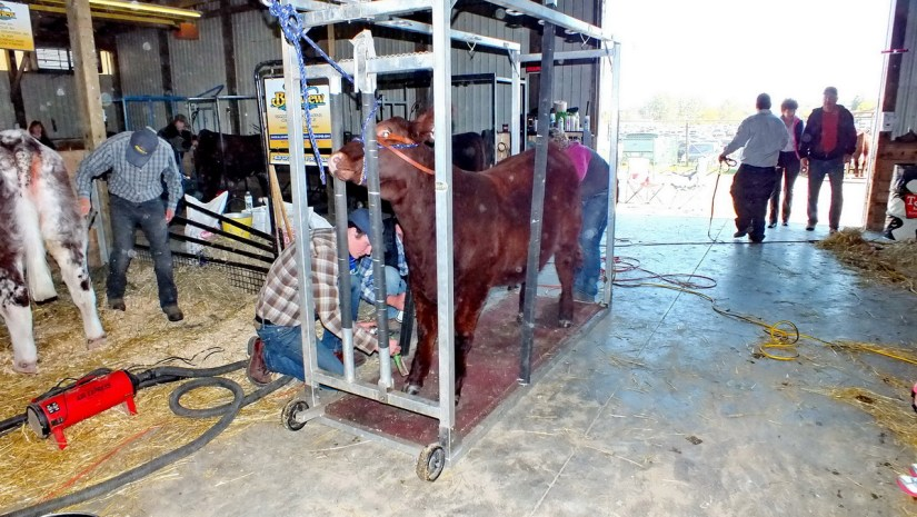 cow being groomed for judging, markham fair, markham, ontario, 2012