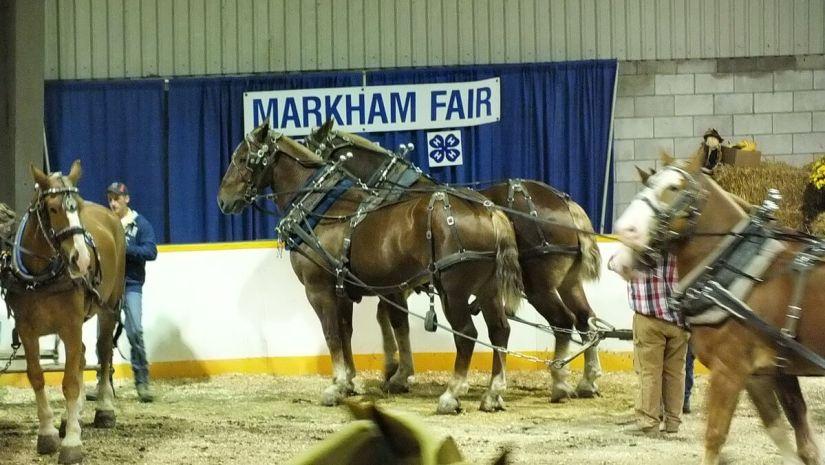heavy horse pull, markham fair, markham, ontario, 2012