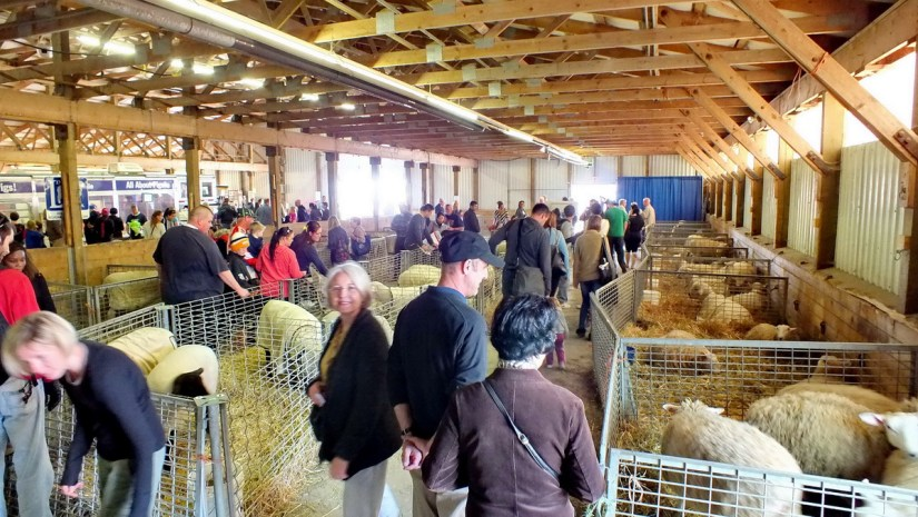 sheep in the livestock barn, markham fair, 2012