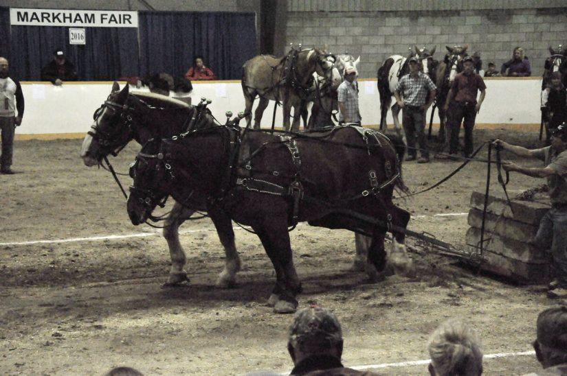 heavy horse pull, markham fair, markham, ontario, 2016
