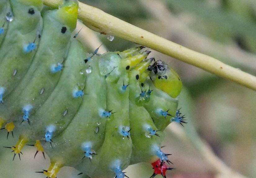 cecropia moth larva, rouge national urban park, markham, ontario