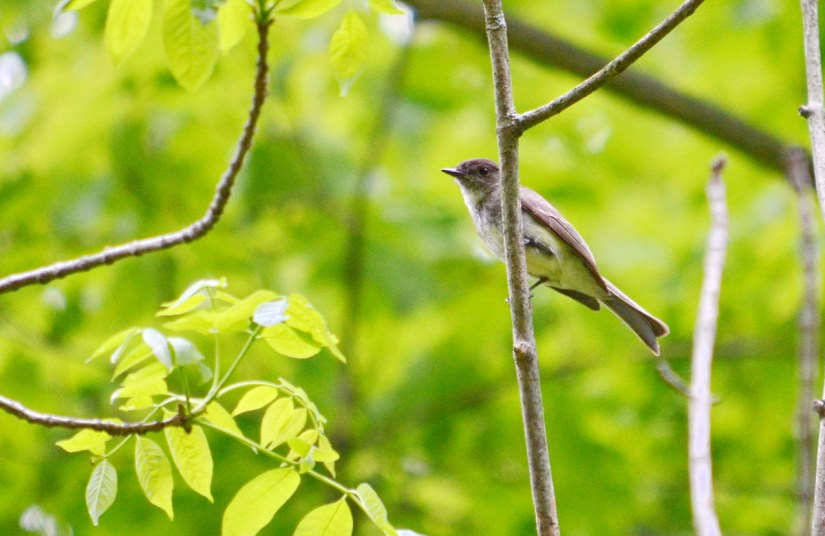 eastern phoebe, rouge national urban park, toronto