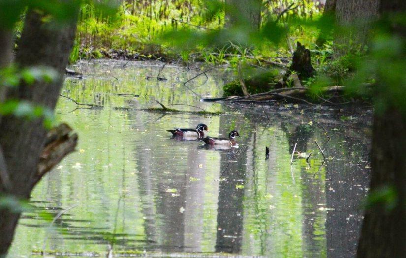 wood ducks in rouge national urban park, toronto