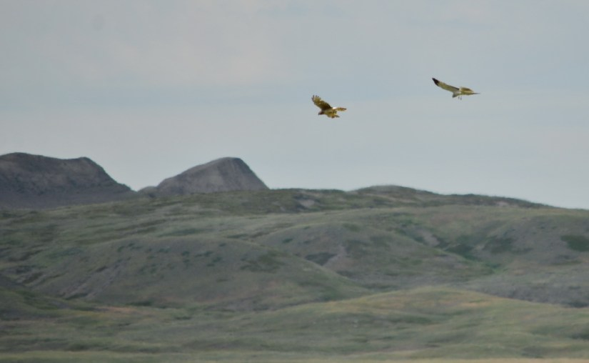 northern harriers, grasslands national park, saskatchewan