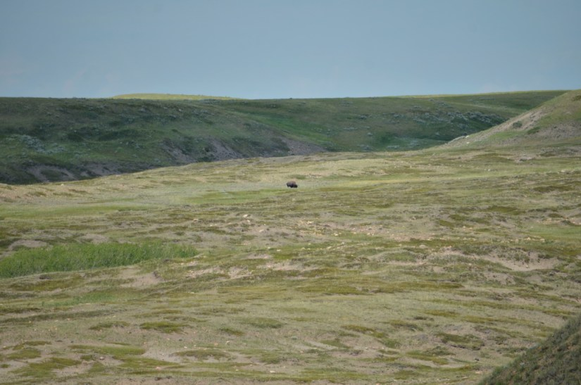 a plains bison, grasslands national park, saskatchewan