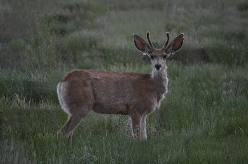 a mule deer, grasslands national park, saskatchewan