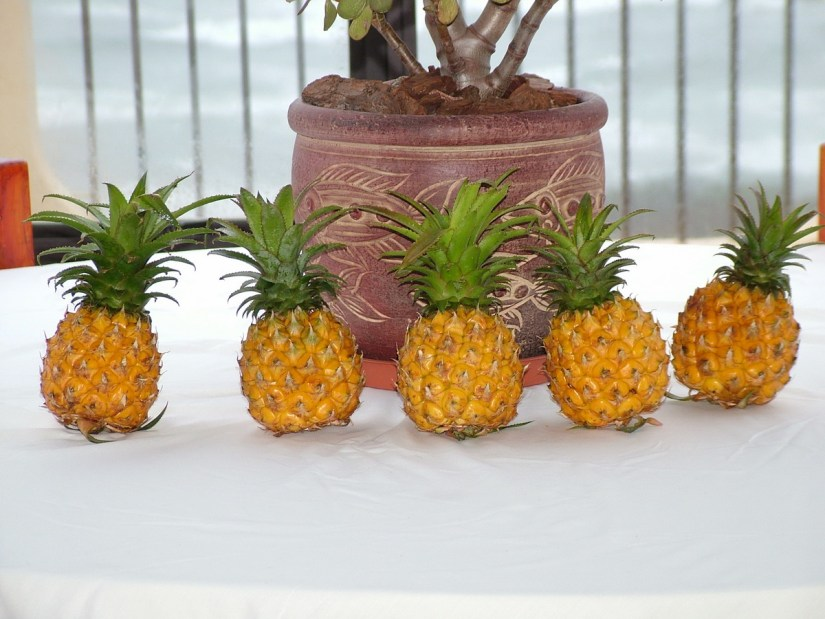pineapples, margate, south africa