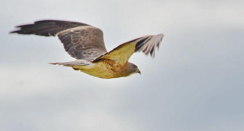 a swainson's hawk, val marie, saskatchewan