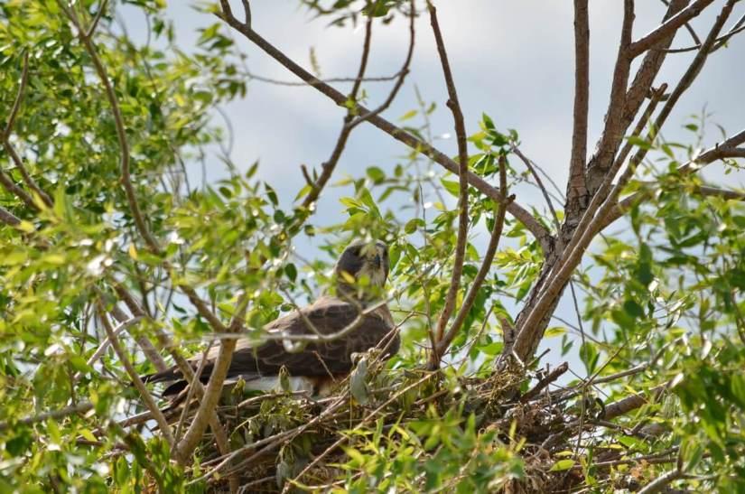 a swainson's hawk on the nest, val marie, saskatchewan, near Grasslands National Park