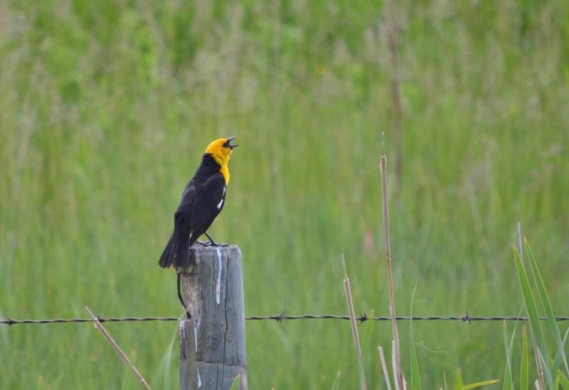 a yellow-headed blackbird, val marie, saskatchewan, near Grasslands National Park