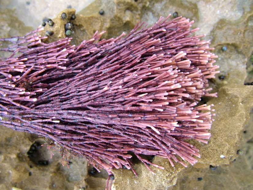 pink coralline algae, port elizabeth, south africa