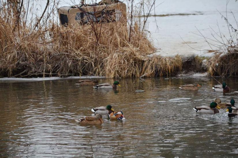 eddie, a mandarin duck, newmarket, ontario, canada