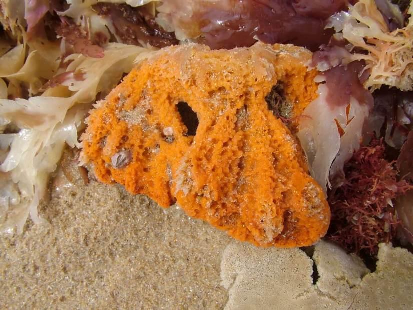 unknown orange flora or fauna, on the beach , port elizabeth, south africa