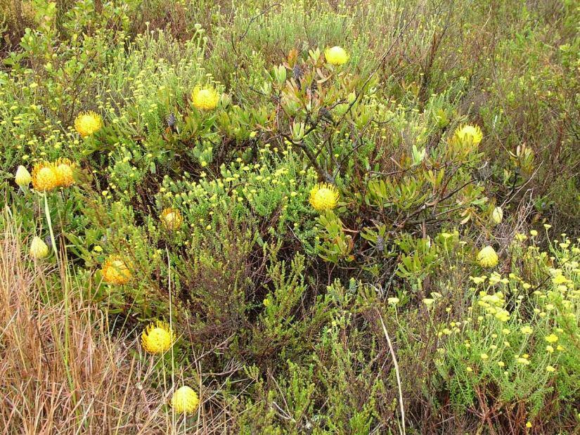 pincushion protea of the fynbos biome, garden route, south africa