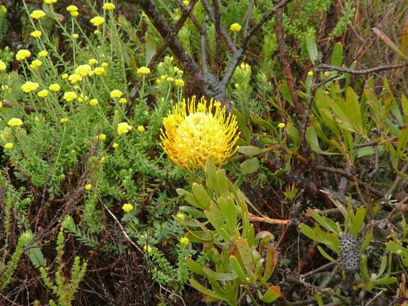 pincshion protea along the garden route, south africa