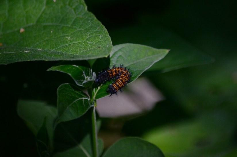 baltimore checkerspot butterfly larva, rouge national urban park, toronto, ontario