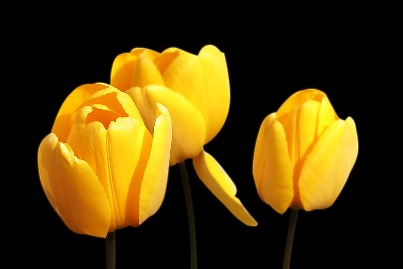 tulips-1364024_960_720.jpg