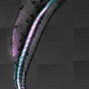 Une petite Sirène © Lucie Sengmanivong, Frederik Verweij, PhD, G.Raposo team, UMR 144, Institut Curie, Paris