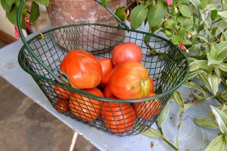 cueillette de tomates