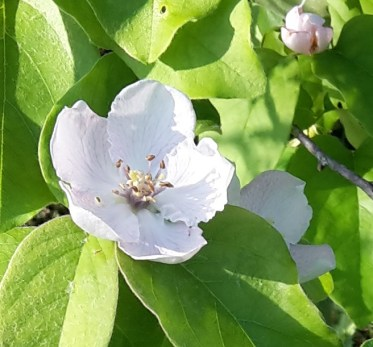 Quince flower close up