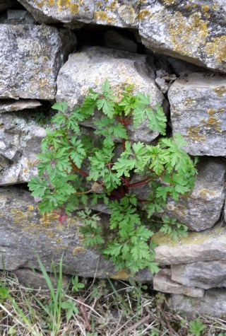 Herb Robert in wall