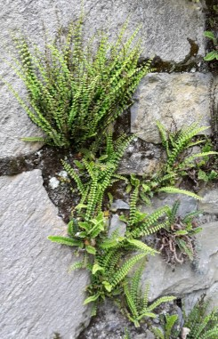 Fern growing in wall