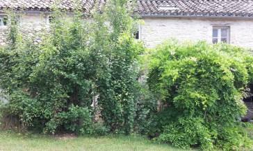 Overgrown plum trees