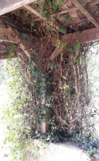 Overgrown honeysuckle