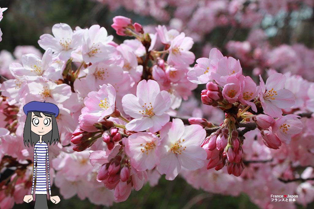 cerisiers japonais hanami quand