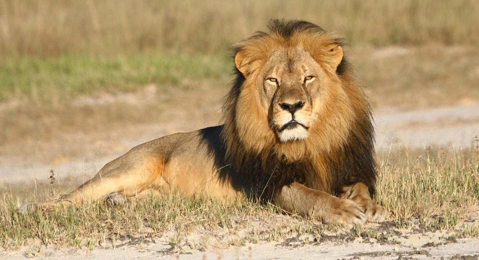 Cecil, una storia di codardìa globale