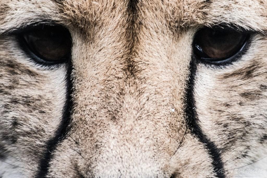 Once a Cheetah