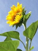 1 sunflower 2016