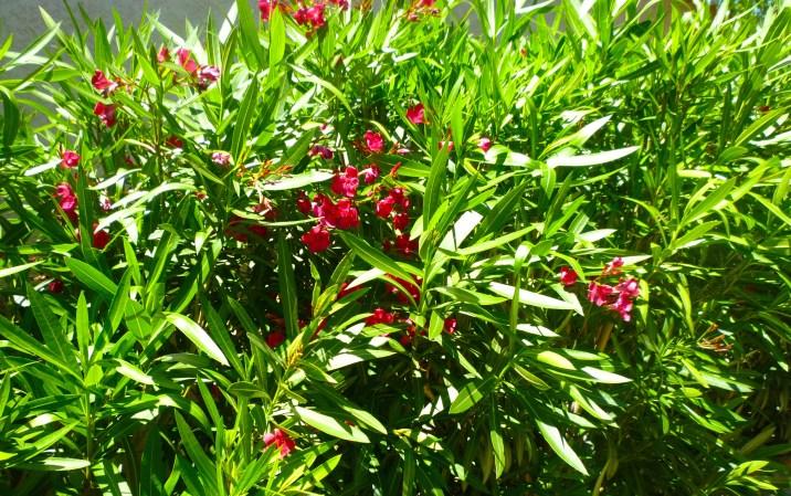 dark oleander