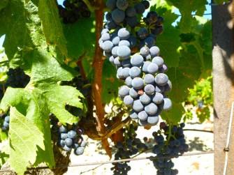 grapes-close