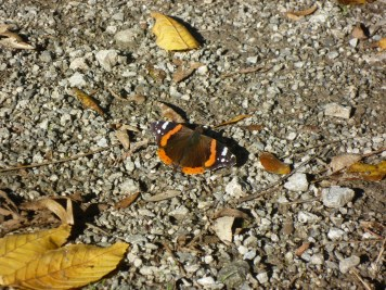 orange-black-butterfly
