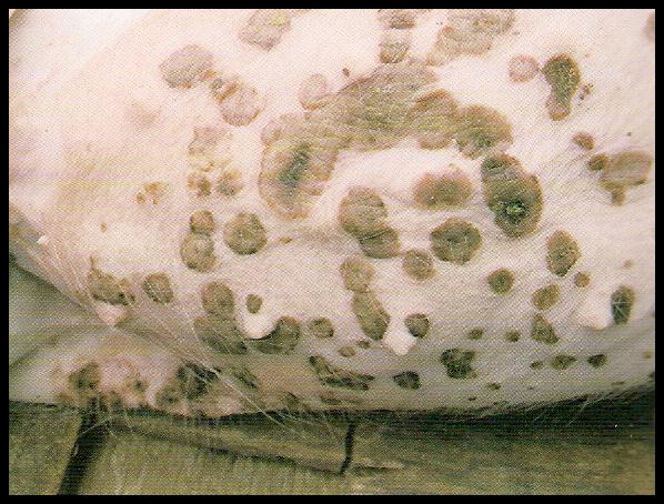 Epidermitis exudativa porcina II : Sintomas,lesiones,diagnóstico y tratamiento (2/5)